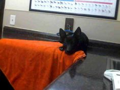 *SYMPHONY-ID#A676963    Shelter staff named me SYMPHONY.    I am a female, black and white Labrador Retriever mix.    The shelter staff think I am about 5 months old.    I have been at the shelter since Oct 07, 2012.