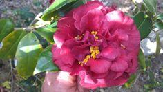 "Camellia japonica ""Black Dragon"""