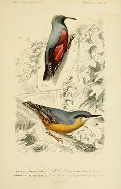 gravures couleur d'oiseaux - Gravure oiseau 0229 sitelle d europe - sitta europea - passereau - Gravures, illustrations, dessins, images