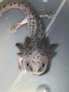 Axolotl (Ambystoma mexicanum) is een salamander uit de familie molsalamanders (A. Cute Creatures, Sea Creatures, Beautiful Creatures, Cute Reptiles, Reptiles And Amphibians, Animals And Pets, Baby Animals, Cute Animals, Axolotl Tank