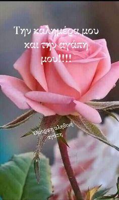 Good Morning Good Night, Rose, Avon, Flowers, Plants, Wallpapers, Pink, Wallpaper, Plant