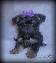 Yorkie Poo (Yorkie and Poodle mix)