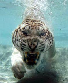 Just as mean underwater. #tiger #animals