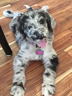 Great Danoodle (Great Dane X Poodle Mix) Info, Temperament, Puppies, Pictures Great Danoodle, Baby Animals, Cute Animals, Great Dane Mix, Sweet Dogs, Dane Dog, Doodle Dog, Yorkshire Terrier Puppies, Purebred Dogs