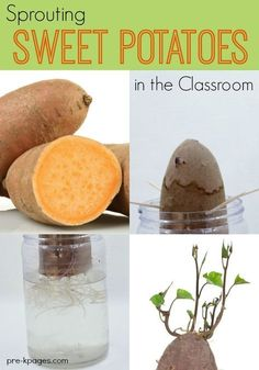 Exploring Data Science for Kids: Sprouting Sweet Potatoes. A foolproof science experiment your preschool or kindergarten kids will love! Support observation and data collection skills when you sprout sweet potatoes in your science center! Science Experiments For Preschoolers, Plant Science, Preschool Science, Science Classroom, Science For Kids, Science Activities, Kindergarten Classroom, Science Chemistry, Physical Science