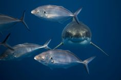Underwater photographer Matt Draper, from New Zealand, decided to move on from his life as a carpenter to take his camera to the fascinating underwater world lying right on his doorstep. Cute Shark, Great White Shark, Underwater Images, Underwater World, Largest Sea Creature, Cute Wild Animals, Amazing Places On Earth, Shark Art, Underwater Photographer