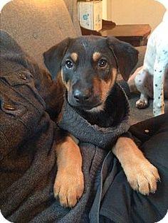 Federal Way, WA - German Shepherd Dog/Rottweiler Mix. Meet Mr. Peanut Butter, a puppy for adoption. http://www.adoptapet.com/pet/14502953-federal-way-washington-german-shepherd-dog-mix