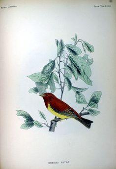 Description des oiseaux observés au Japon par les voyageurs Hollandais (1842) Emberiza rutila