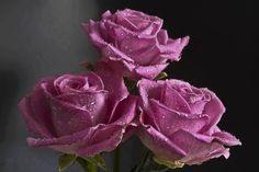 Tres rosas moradas