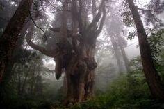 島根県の隠岐の島にあるパワースポット岩倉の乳房杉を紹介します 岩倉の乳房杉は樹齢800年の古杉で根まわりが約16mもある大木なんです()v 20数個の巨大な鍾乳石状の乳根が下がっているのが特徴でその姿はとっても神秘的ですよ() tags[島根県]