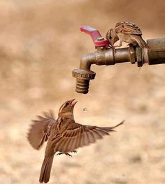 drinking water from the little bird   su içen serçe kuşu