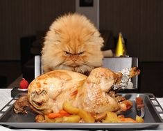 Garfi, the angriest looking cat you have ever seen.