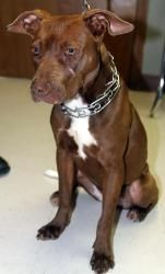 Sophie (Foster) is an adoptable Pit Bull Terrier Dog in Baton Rouge, LA. Meet Sophie! Sweet Sophie is a found girl and no owner was located. She's currently being fostered by the people who found her....