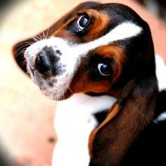 Bassett Hound Puppy