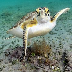 All You Need To Know About Dessert Tortoise Care Tortoise Care, Tortoise Turtle, Underwater Creatures, Ocean Creatures, Baby Animals, Cute Animals, Fauna Marina, Life Under The Sea, Turtle Love