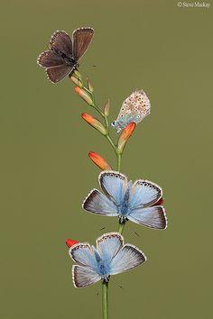 Four Chalkhill Blue butterflies