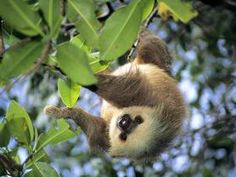 Hoffmann's Two-Toed Sloth, Panama - Professional Photos