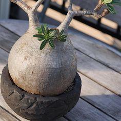 . . お気に入りのグラキリス! 昨年、根っこが未熟なこの子を直射に晒したせいで立派だった枝を枯らしてしまいました。 . 今年はその傷を癒し隠すかのように亡くなった枝の周囲から葉っぱがたくさん出ています。 . いつも植物の生命力というか本能に感動します! . #パキポディウム #グラキリス #Pachypodium#gracilius #cactus#caudex#succulent#plants#interior#コーデックス#多肉植物#塊根#グラキリスファミリー