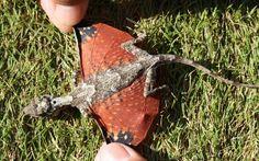 draco-volans-flying-dragon