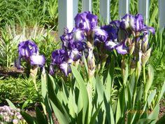 Irises at Victoria Resort SoHa