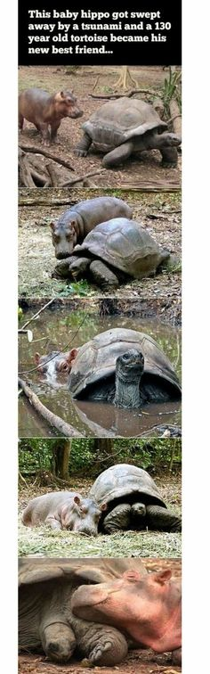 Best friends - Win Picture | Webfail - Fail Pictures and Fail Videos.  A turtle and a baby hippo.  Cute