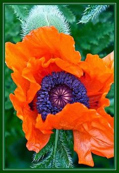 """Coquelicot Orange - """"Say it with flowers or say it with sweets,boxes of chocolates or plush theatre seats.Say it with diamonds or say it with mink,but whaterver you do don`t say it in. It depence on VERY large presumption :))) Exotic Flowers, Orange Flowers, Amazing Flowers, Colorful Flowers, Beautiful Flowers, Yellow Roses, Pink Roses, Pretty Things, Wild Poppies"""