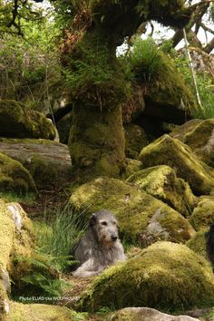 """Jools in """"Wistman's Wood"""".Photo: Elias the WolfhoundMany writers have described the wood as being """"the most haunted place on Dartmoor""""http://www.legendarydartmoor.co.uk/wistman.htm"""