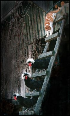 Watch out funny looking chickens, here comes trouble!
