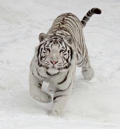 El tigre kreslené porno