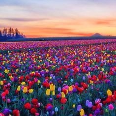 I would love to twirl through this field of tulips with romantic curly hair and a twirly dress!