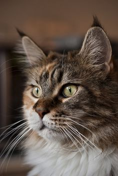 Maine Coon - check those ear tuffs Pretty Cats, Beautiful Cats, Animals Beautiful, Cute Animals, Pretty Kitty, Maine Coon Kittens, Cats And Kittens, Ragdoll Kittens, Funny Kittens