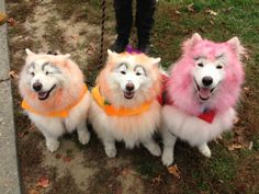 "Here, three Samoyed dogs dress up as clowns and a devil for ""Paws for People - Wag and Walk,"" a Halloween outing in Lewisville, PA.  The own..."