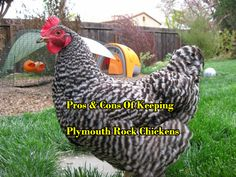 Do you have and planing to keep Plymouth Rock Chickens? Here are the Pros And Cons of Keeping Plymouth Rock Chickens.