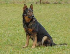 German Shepherd Dog - ILLA z Hnedej skaly