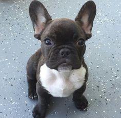 French Bulldog Puppy Cute French Bulldog, French Bulldog Puppies, French Bulldogs, Baby Bulldogs, English Bulldogs, Cute Puppies, Cute Dogs, Dogs And Puppies, Doggies