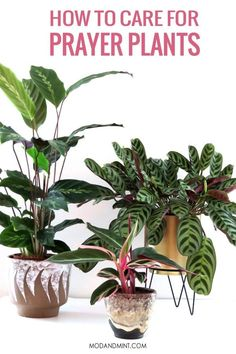 Complete guide on how to grow indoor prayer plants. Their gorgeous leaves open and close daily as in prayer. They thrive in high humidity and will need some care and attention.
