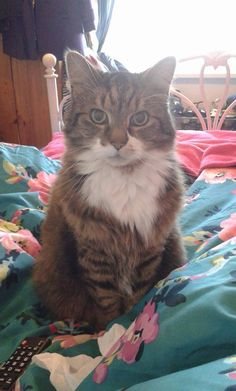 Benjamin. He's nearly 15 but still thinks he's a kitten. Such a lovely funny boy who came to me as a stray who had been badly treated. I think he's part Maine Coon and although he doesn't meow he is very vocal. Sometimes it's like he's having a conversation and he won't stop until he knows you have understood him. I love my big old furry purry monkeypants.