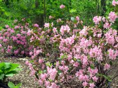 Other flowering plants and shrubs in my garden include rhododendrons, hellebores, astilbes, and Virginia bluebells. All these thrive happily beneath the garden's canopy of maple, oak, wild cherry, and catalpa trees. In June, the catalpa sheds beautiful, orchidlike flowers. Its blossoms are white, with violet veining.