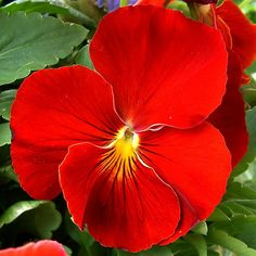 A single Red Pansy. Beautiful!  http://www.sedanfloral.com/index.cfm?fuseaction=plants.plantdetail_id=690