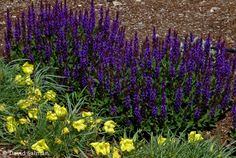 Announcing Salvia sylvestris 'Little Night' PPAF / Gardening Tips ...