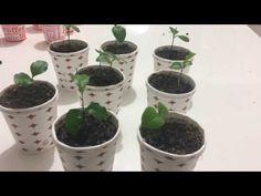 Lemon seed germination, Lemon Tree Growing from Lemon Seed -. Lemon Seeds, Seed Germination, Orchid Care, Growing Tree, Botanical Gardens, Beautiful Gardens, Indoor Plants, Farmer, Orchids
