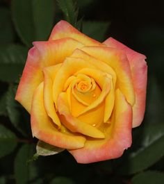 Bees Knees-one of the best miniature roses; elegant form and soft yellow kissed pink outer petals make it irresistible.