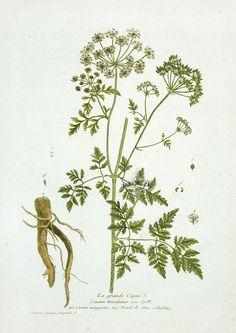 Hemlock botanical print