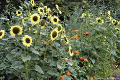 Tous les conseils pour réussir la culture des tournesols dans son jardin. #fleur #jaune
