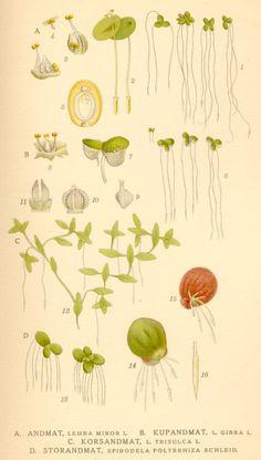 1901 Antique Botanical Print, Cannabis sativa, Vintage Old ...