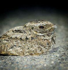 Common Poorwill  Phalaenoptilus nuttallii  Rare migrant and visitor  One…