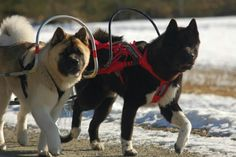 Ares & Atlas on their way to the hunting cabin. Aren't they beautiful?! Photo via Akita World on Facebook.