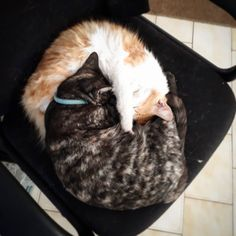 My Ying Yang kitties Curling, Yin Yang, Kitty, Cats, Instagram Posts, Little Kitty, Gatos, Kitty Cats, Kitten