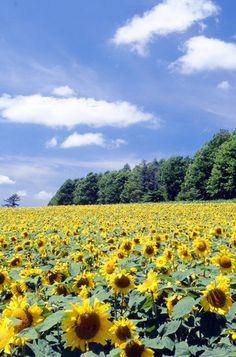 Sunflower Field #hokkaido #japan