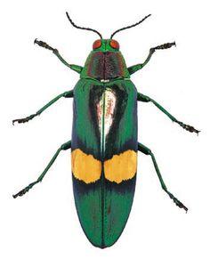 Chrysochroa sp.